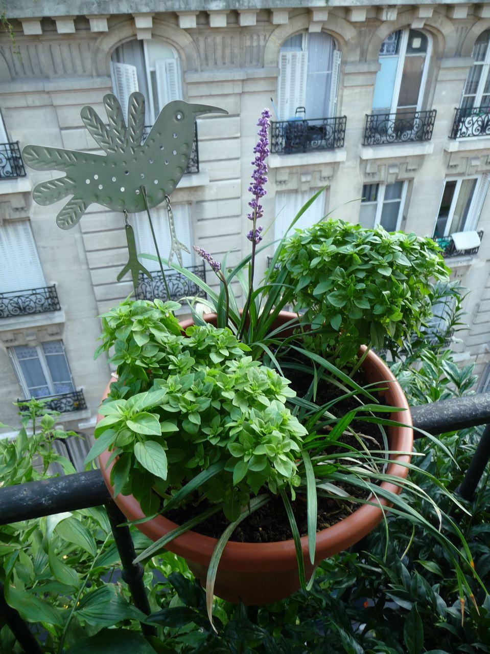 basilic-sur-le-balcon